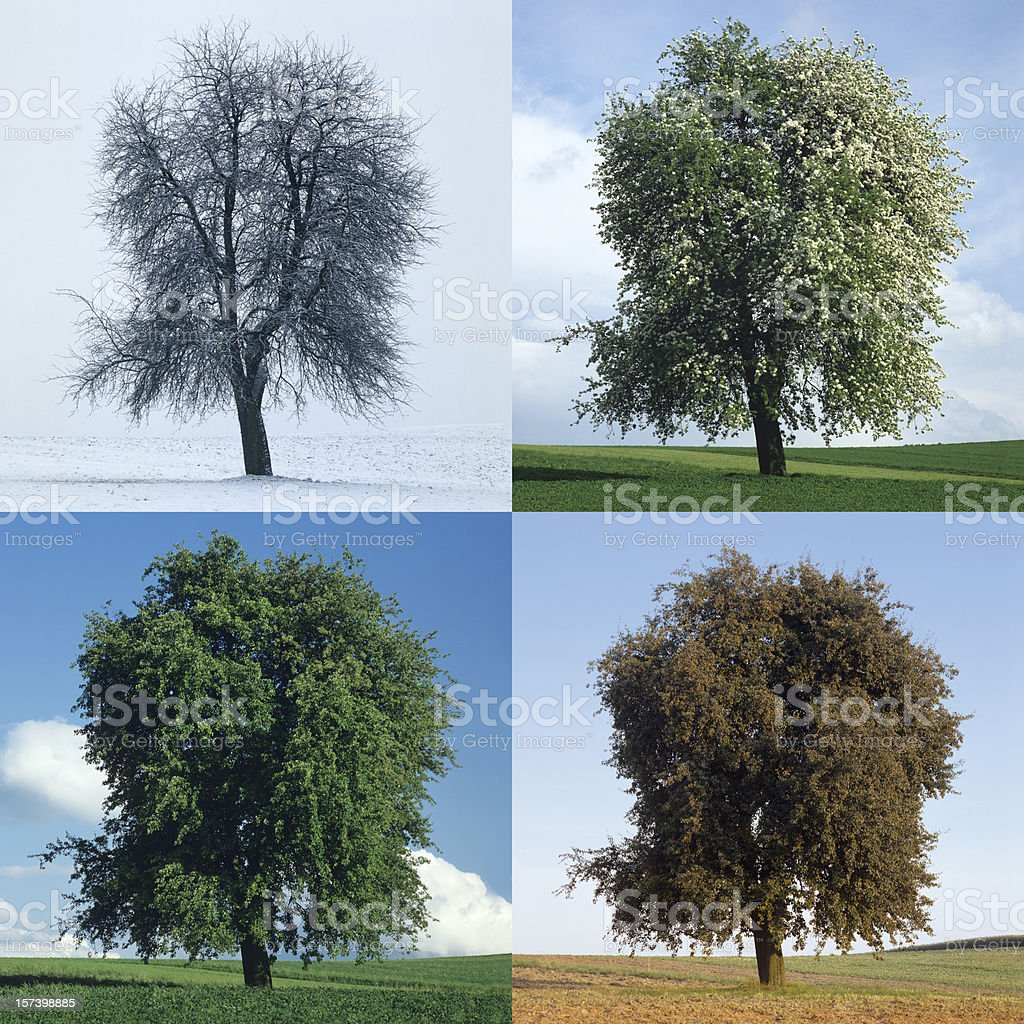 Pear tree in the Four Seasons (image size XXL) stock photo