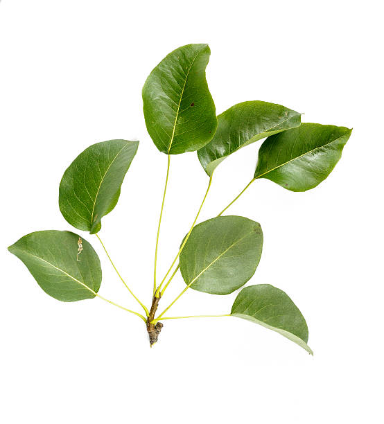 Pear Tree Leaves stock photo