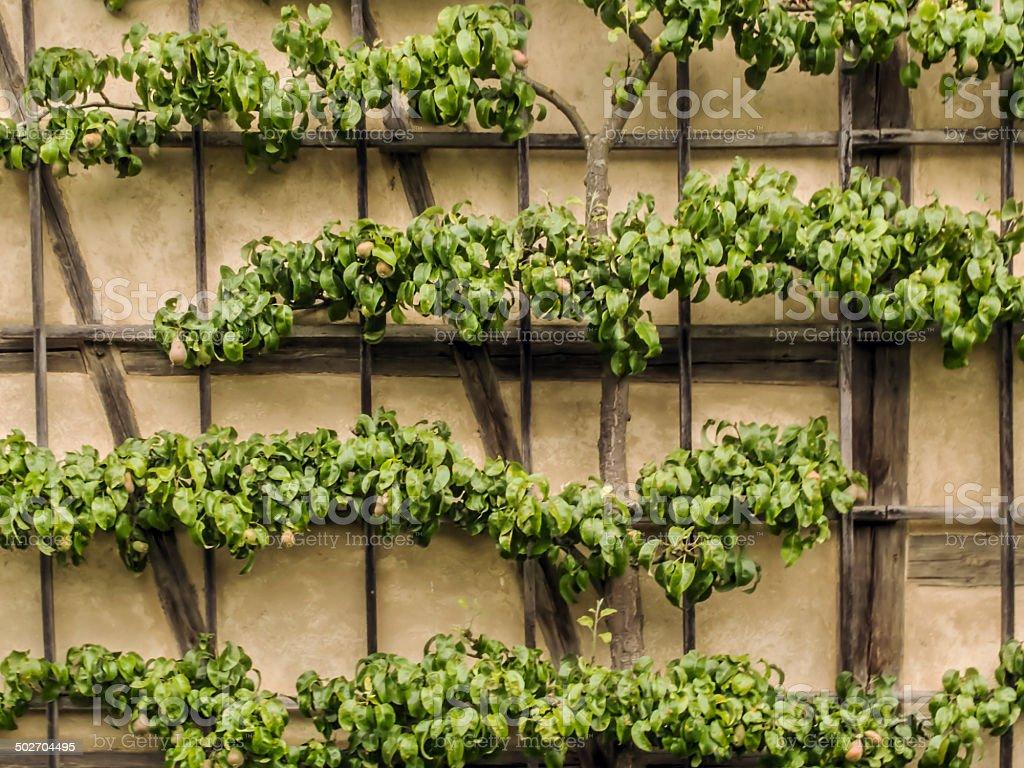 Pear Tree stock photo