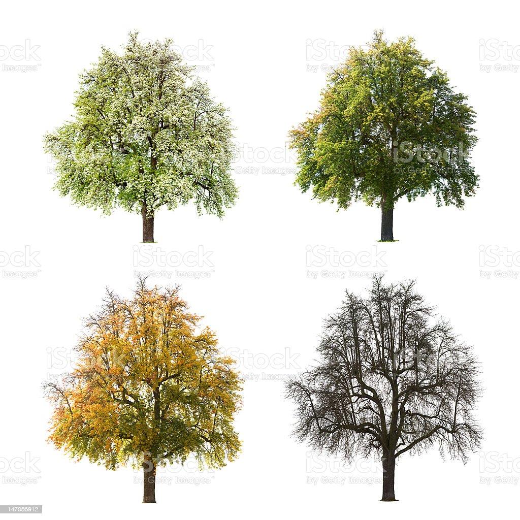 Pear Tree Seasons royalty-free stock photo