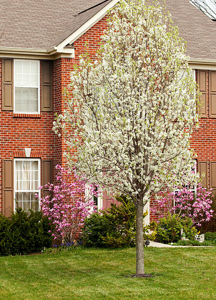 Pear Tree surrounded by beautiful magnolia bushes stock photo