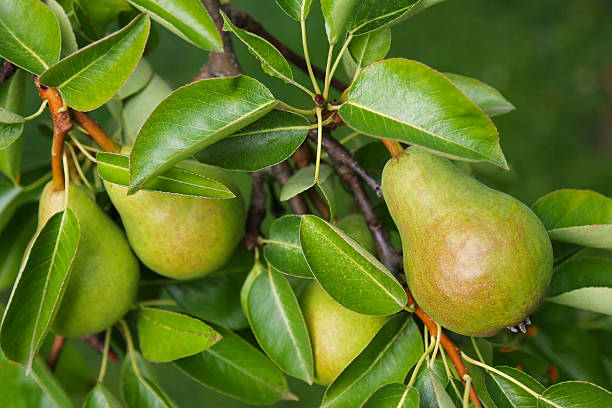 Pear tree with its fruit during summer season stock photo