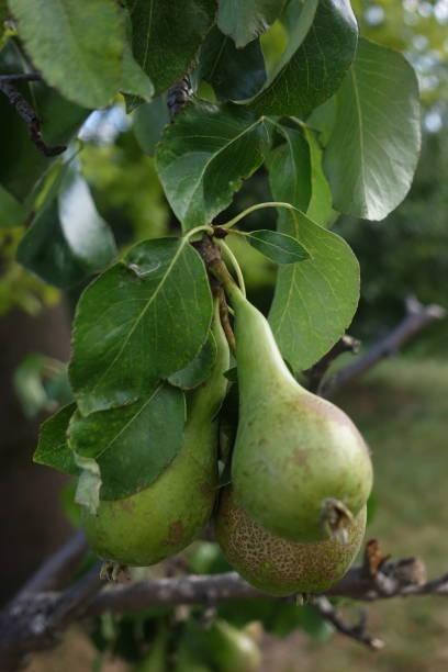 Cтоковое фото Pear tree with pears  Summer season