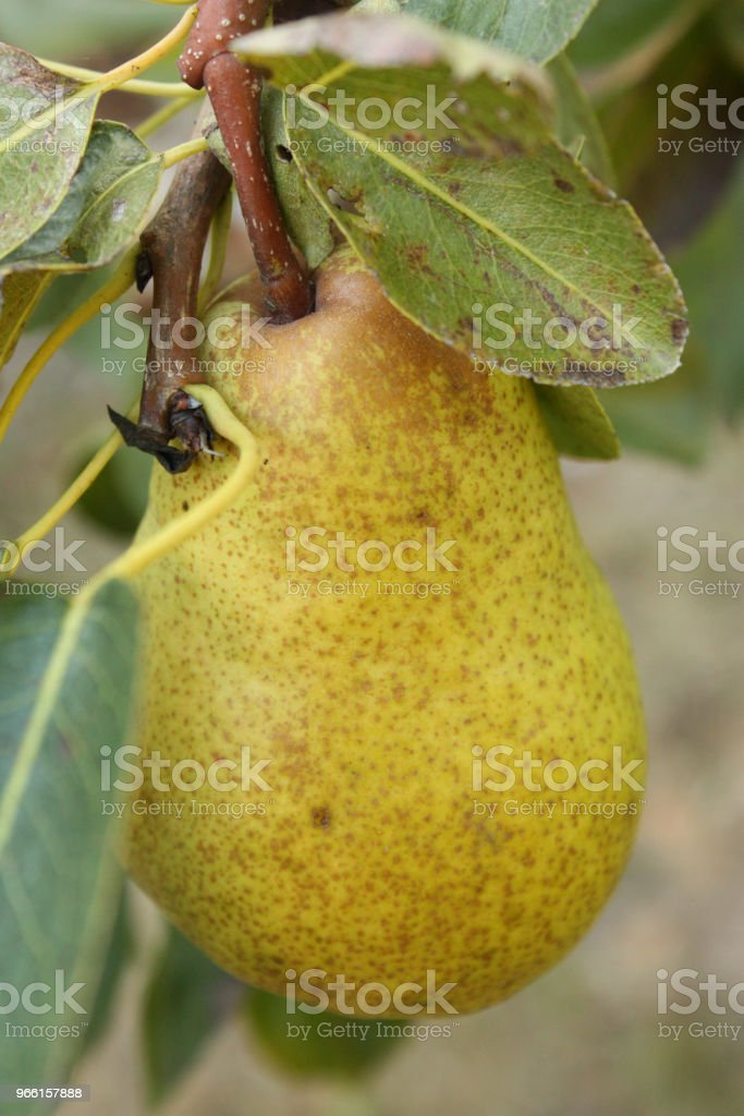 Pear tree with ripe fruit - Foto stock royalty-free di Agricoltura
