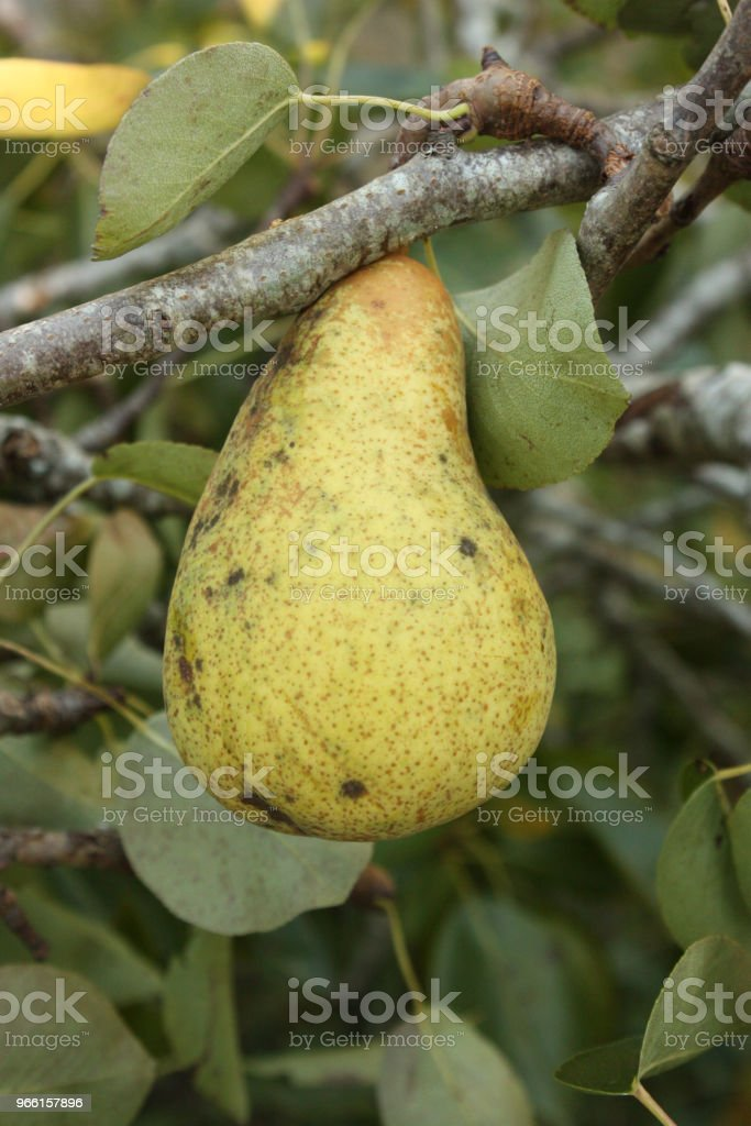 Pear tree with ripe fruit - Royalty-free Agriculture Stock Photo
