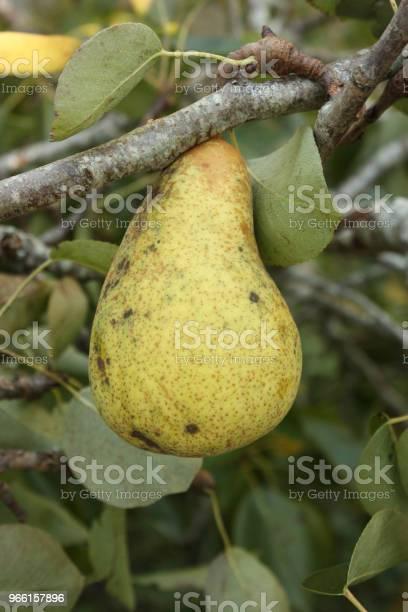 Päronträ Med Mogen Frukt-foton och fler bilder på Ekologisk