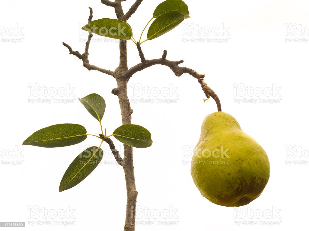 pear twig royalty-free stock photo