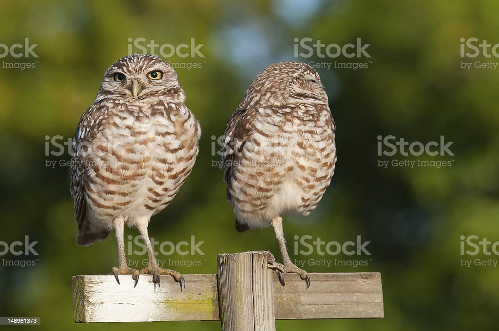 Pearching owls royalty-free stock photo