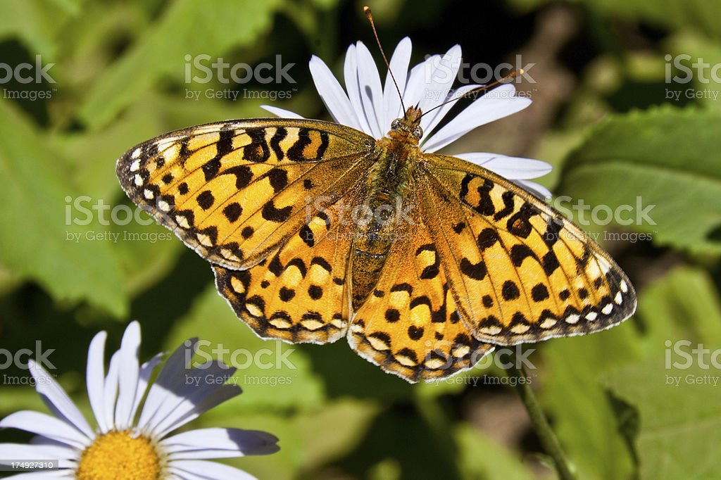 Pearl Border Fritillary Butterfly on an Aster Bloom stock photo