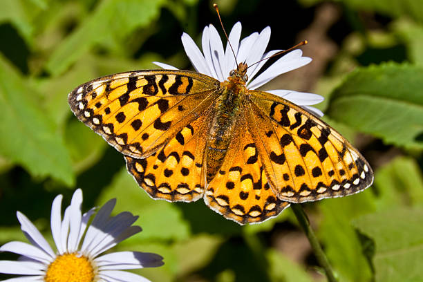 pearl border fritillary butterfly on an aster bloom - jeff goulden butterfly stock pictures, royalty-free photos & images