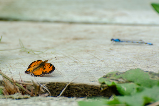 Pearl Crescent Butterfly and a blue Damselfly at Duck Mountain Provincial Park, Manitoba