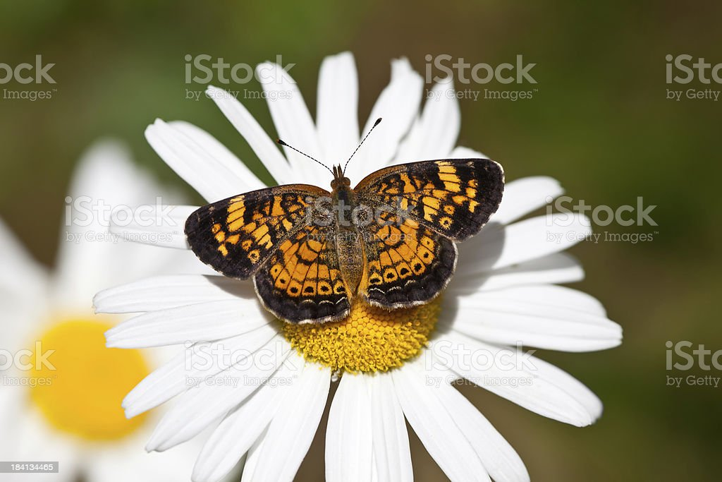 Pearl Crescent Butterfly royalty-free stock photo