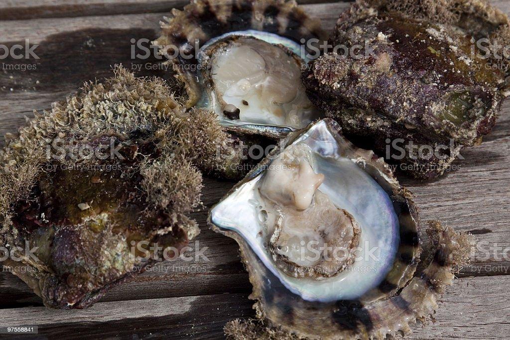 Huître perlière photo libre de droits