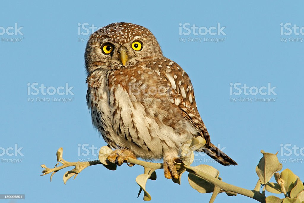 Pearl-spotted owl royalty-free stock photo