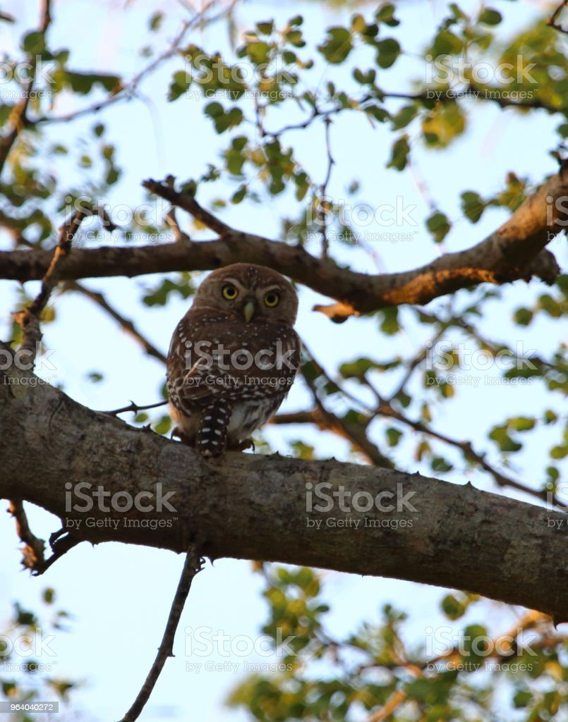 Pearl-Spotted Owlet in a Tree - Royalty-free Africa Stock Photo