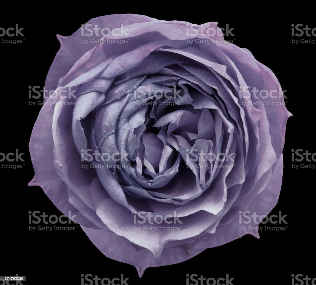 Pearly violet rose flower black isolated background with clipping path.  Closeup no shadows. Nature.. stock photo