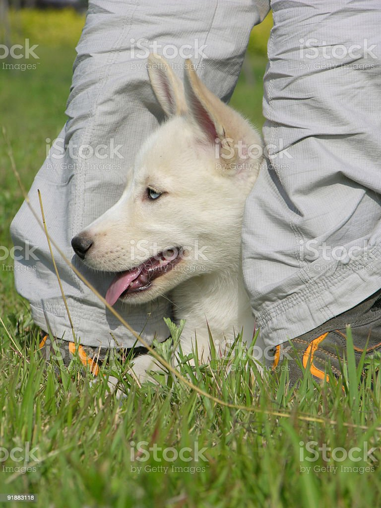 Pearly-white puppy royalty-free stock photo