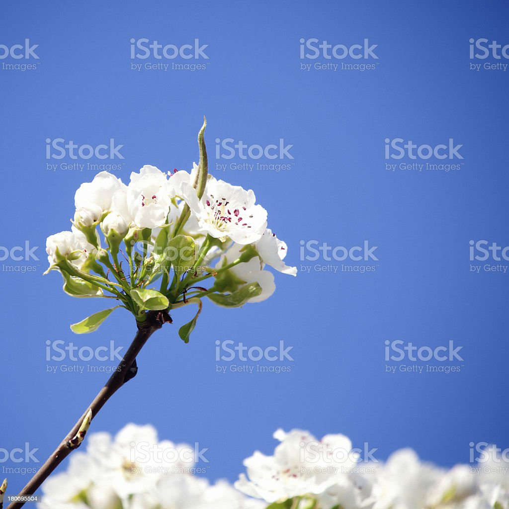 Pears Flowers royalty-free stock photo