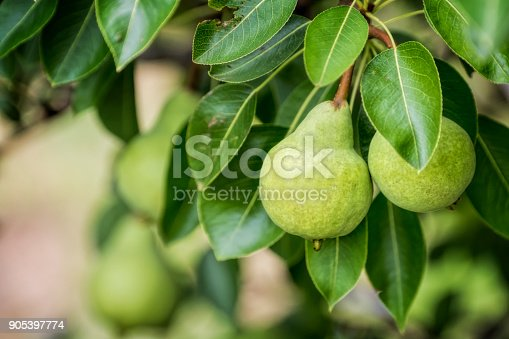 Organic pears growing on the tree