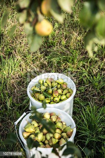 Pears in buckets