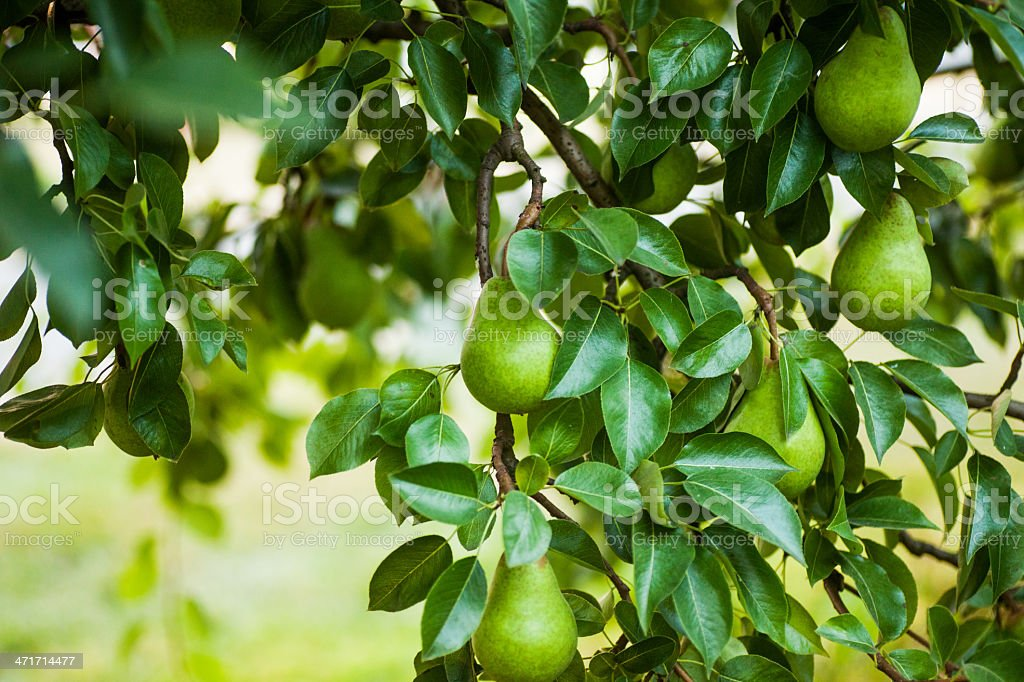 Pears on a tree branch royalty-free stock photo