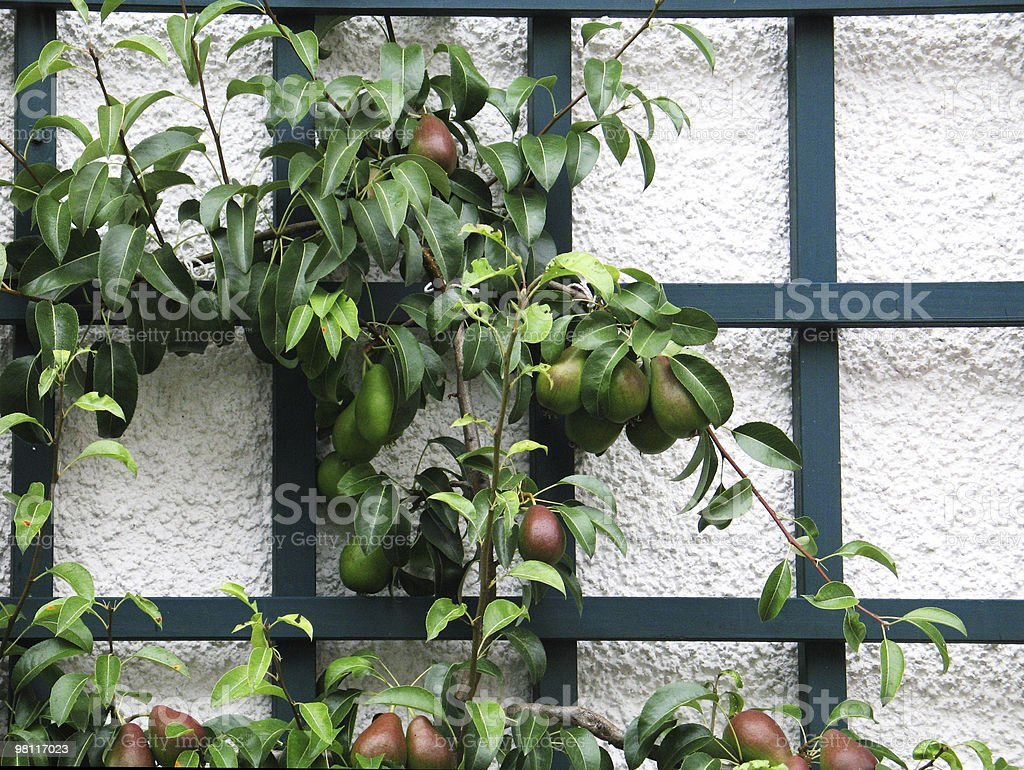 Pears on Lattice royalty-free stock photo
