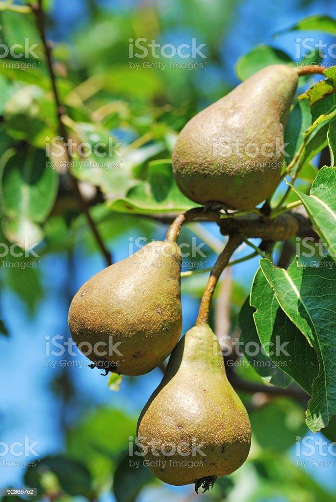 Birnen auf die tree Lizenzfreies stock-foto
