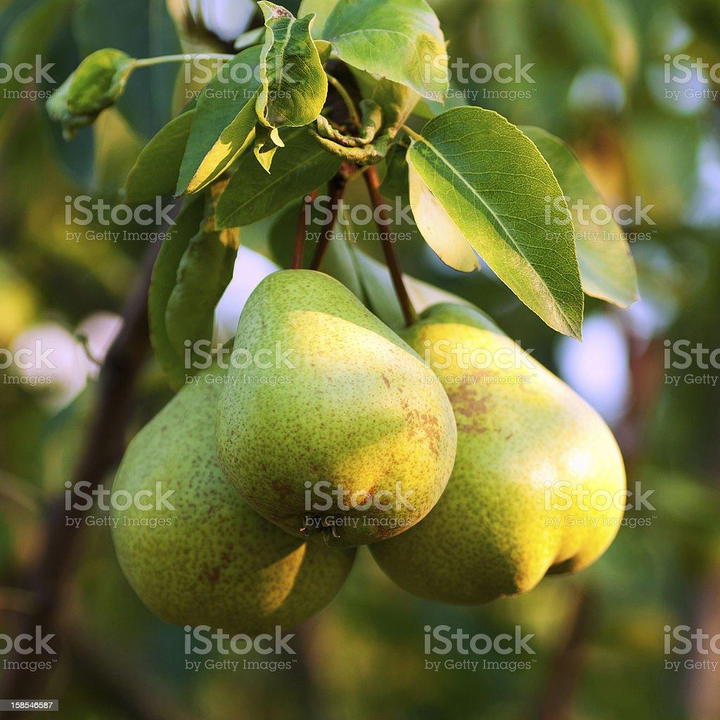 Pears on tree royalty-free stock photo