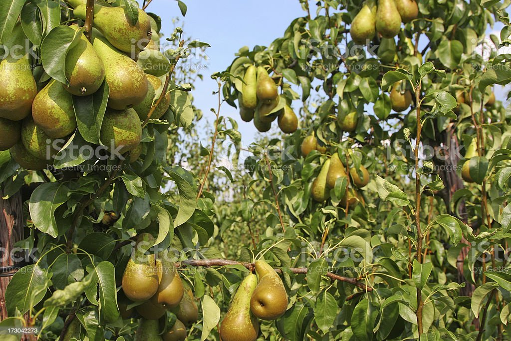 Pears - orchard # 31 royalty-free stock photo