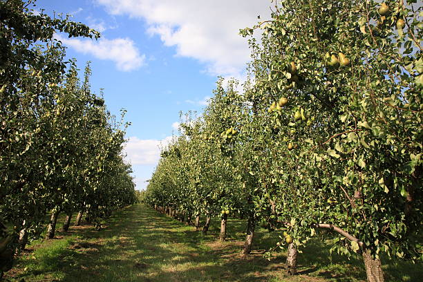 Pears Orchard