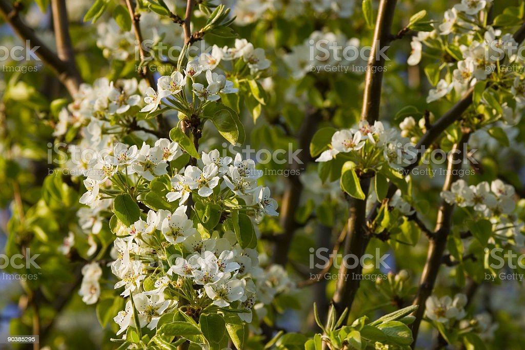 Peartree stock photo
