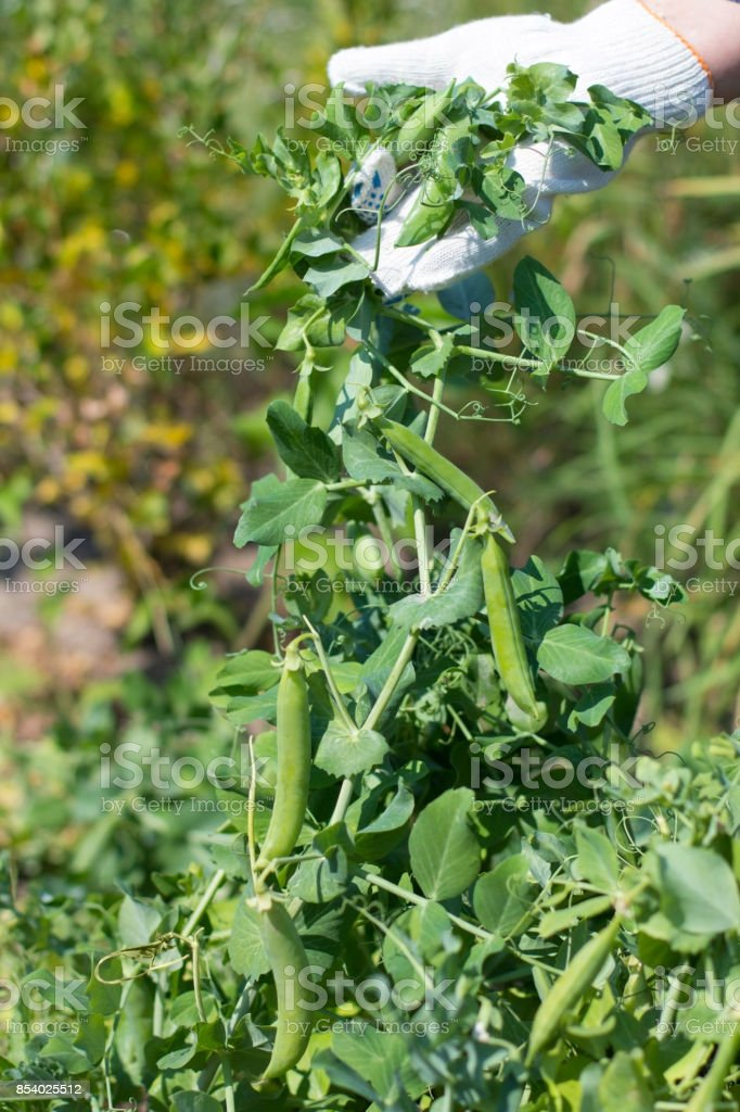 Peas crop. The woman collects peas. Very sweet and large peas. Gifts of summer. Crop. stock photo