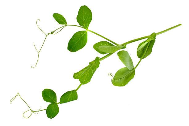 peas leaf isolated on white background - pea sprouts bildbanksfoton och bilder