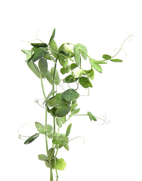 peas on a white background - pea sprouts bildbanksfoton och bilder