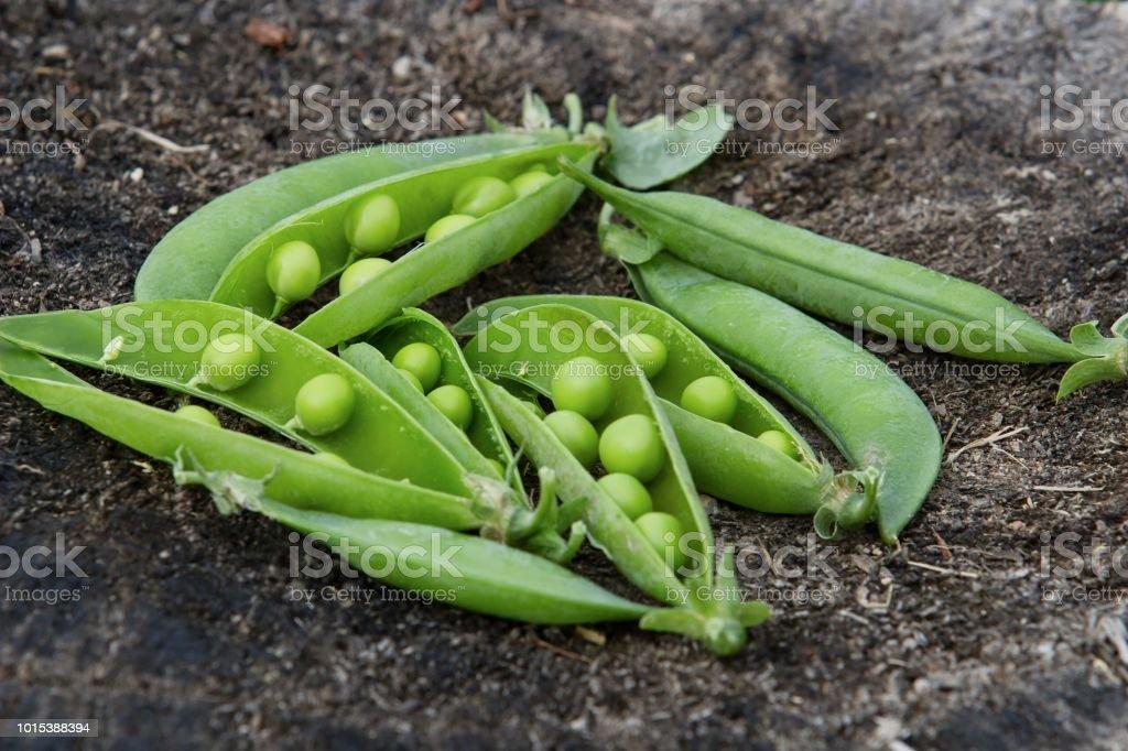 peas pods on wood stock photo