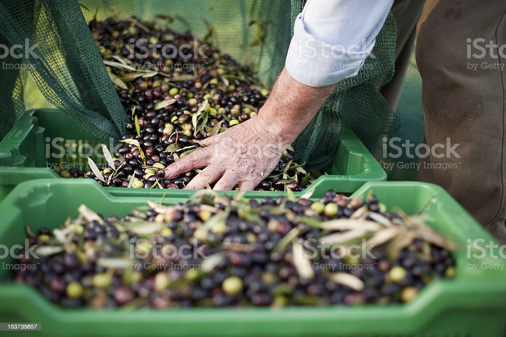 Peasant Hands during Olives Harvesting stock photo