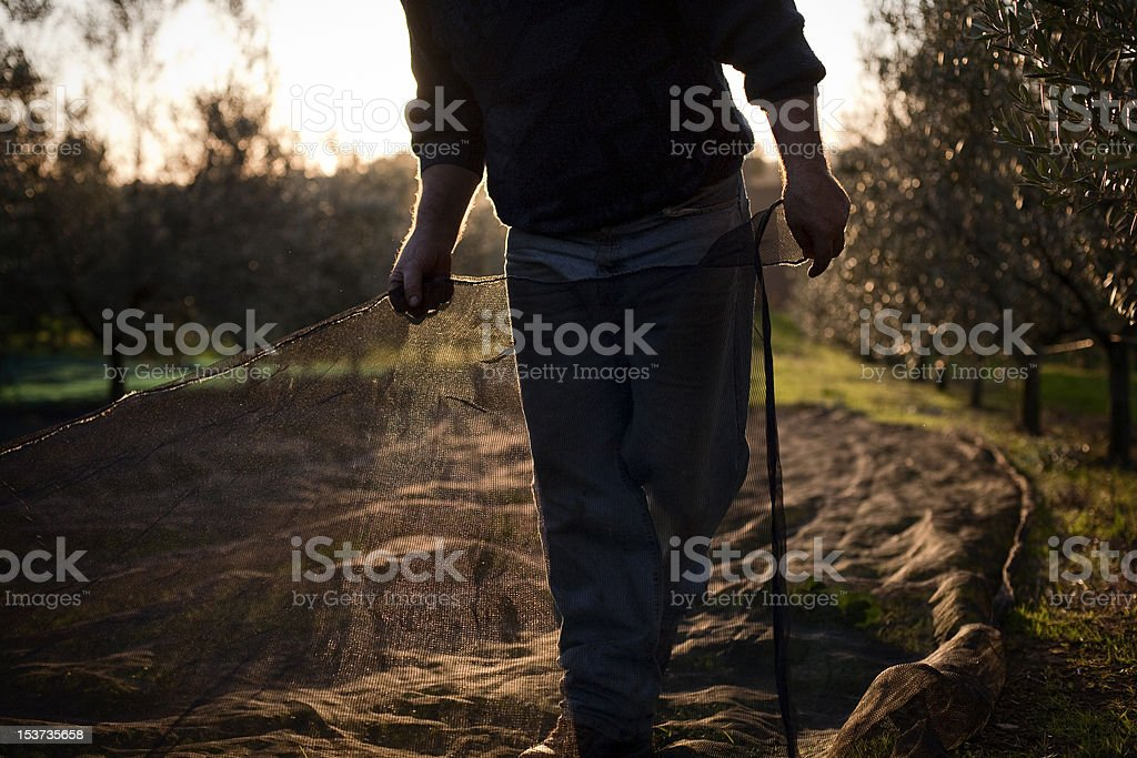 Peasant with Nets during Olives Harvesting stock photo
