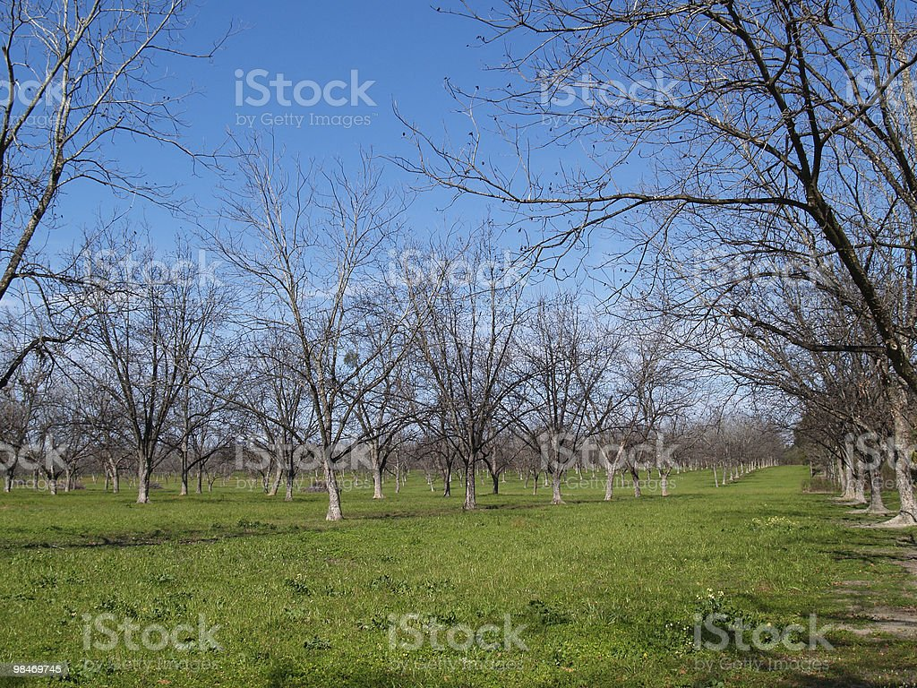 Pecan Grove in the Winter royalty-free stock photo