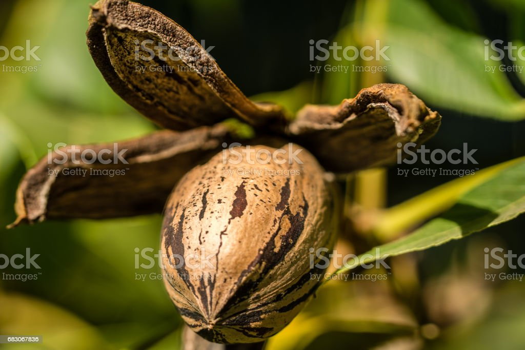 Pecan nut and husk close up foto de stock royalty-free