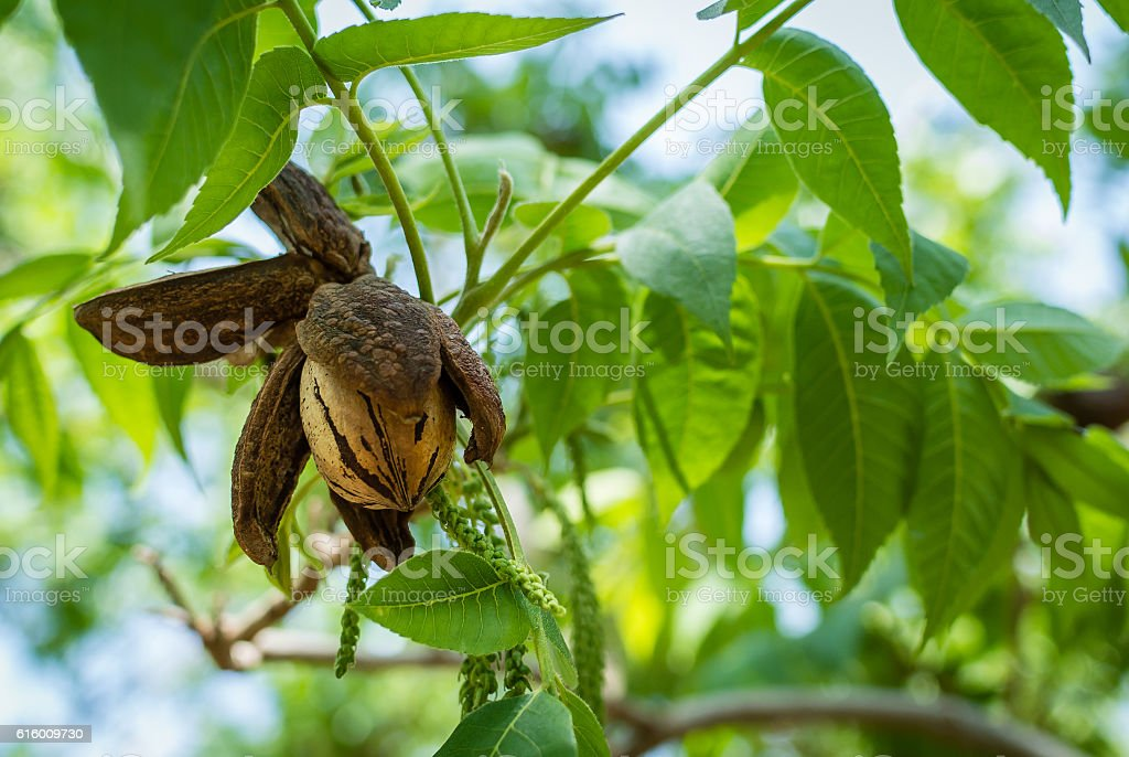 Pecan nut in a springtime orchard stock photo