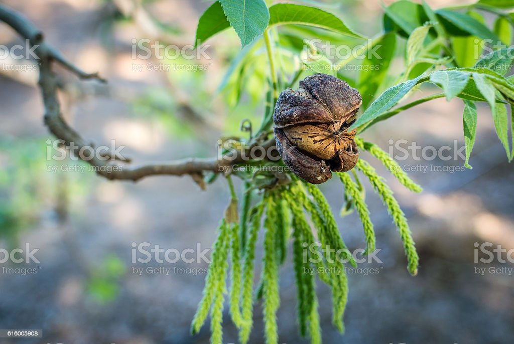 Pecan nut with male flower background stock photo