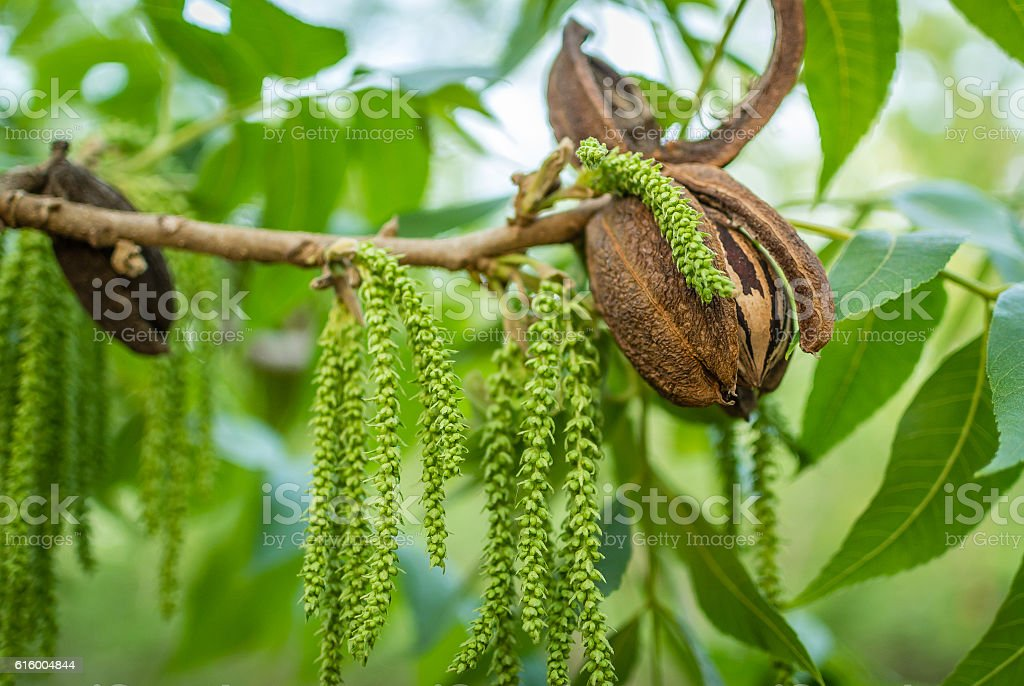 Pecan nut with string of male flowers stock photo