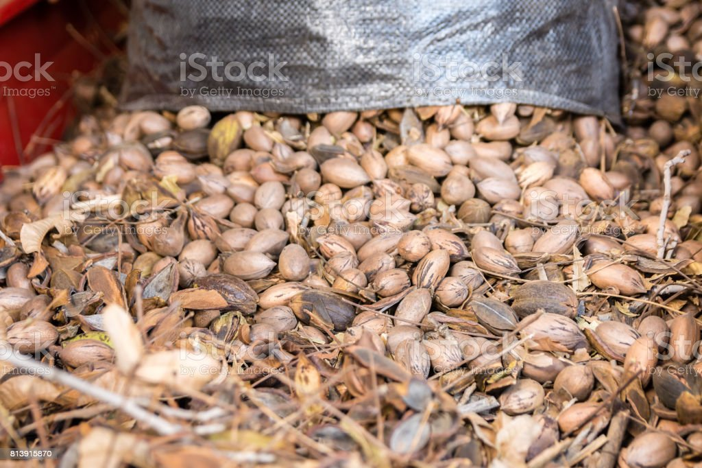 Pecan Nuts Being Fed Into The Cleaner During Harvest Stock