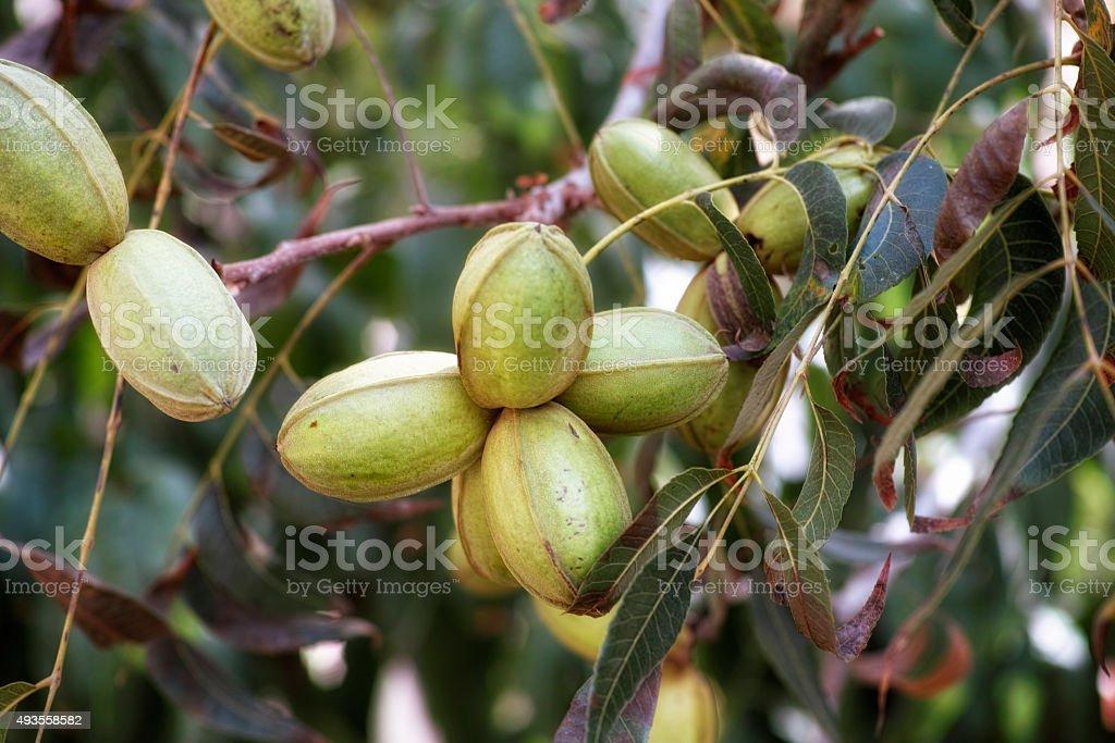 Pecan nuts on tree stock photo
