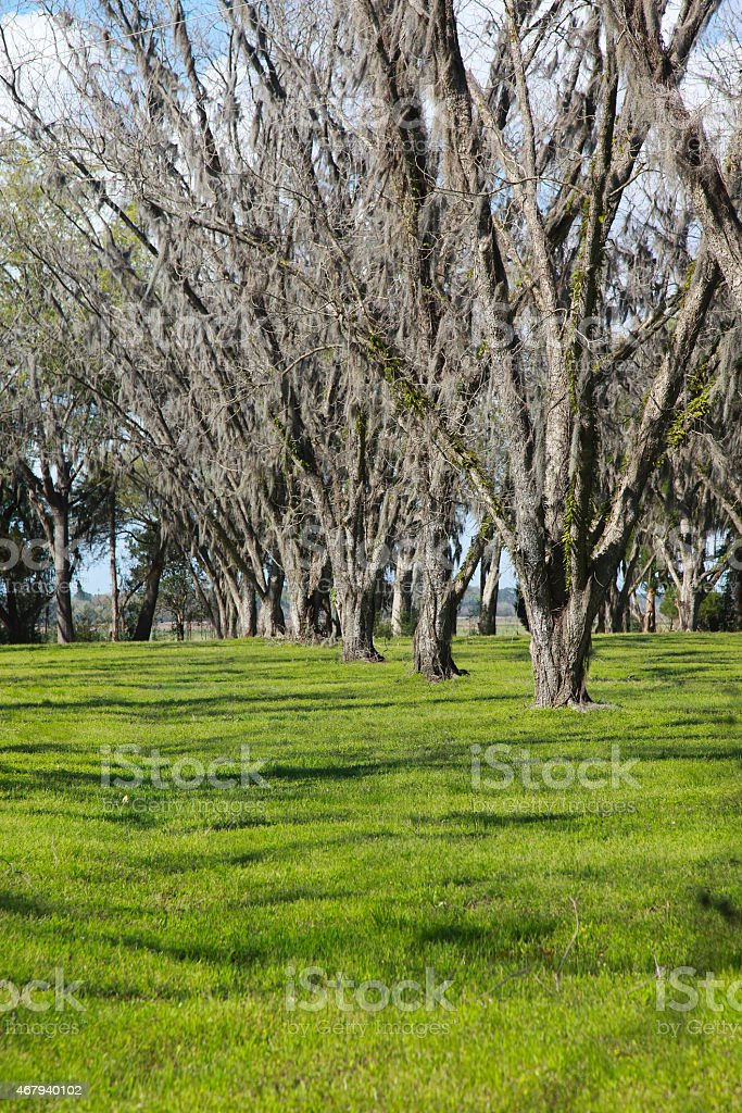 Pecan Orchard stock photo