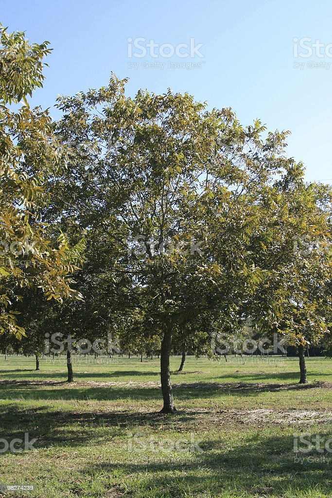 pecan orchard royalty-free stock photo
