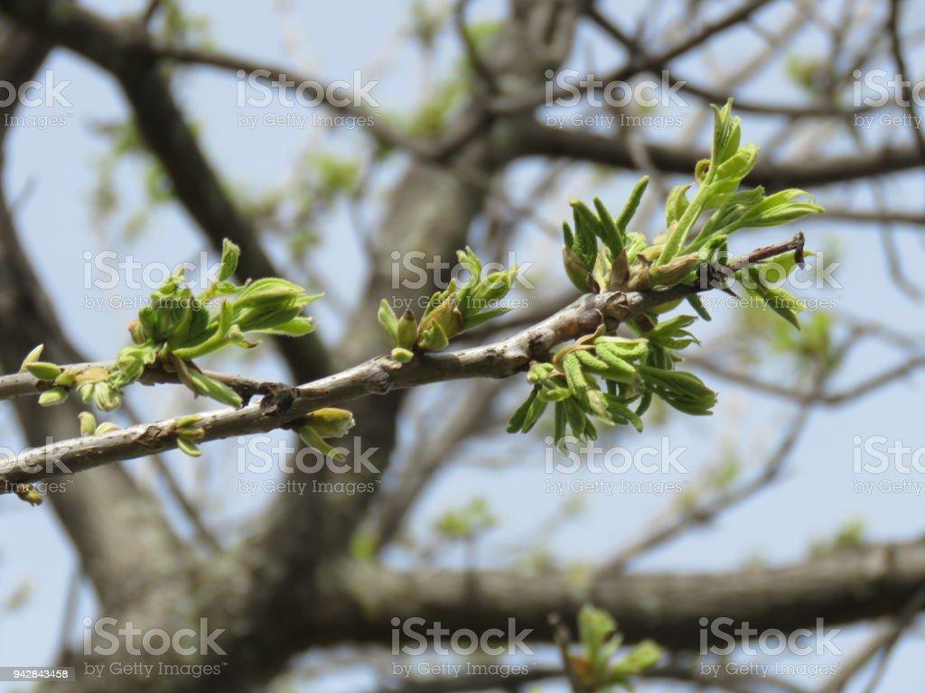 pecan tree buds Springtime stock photo
