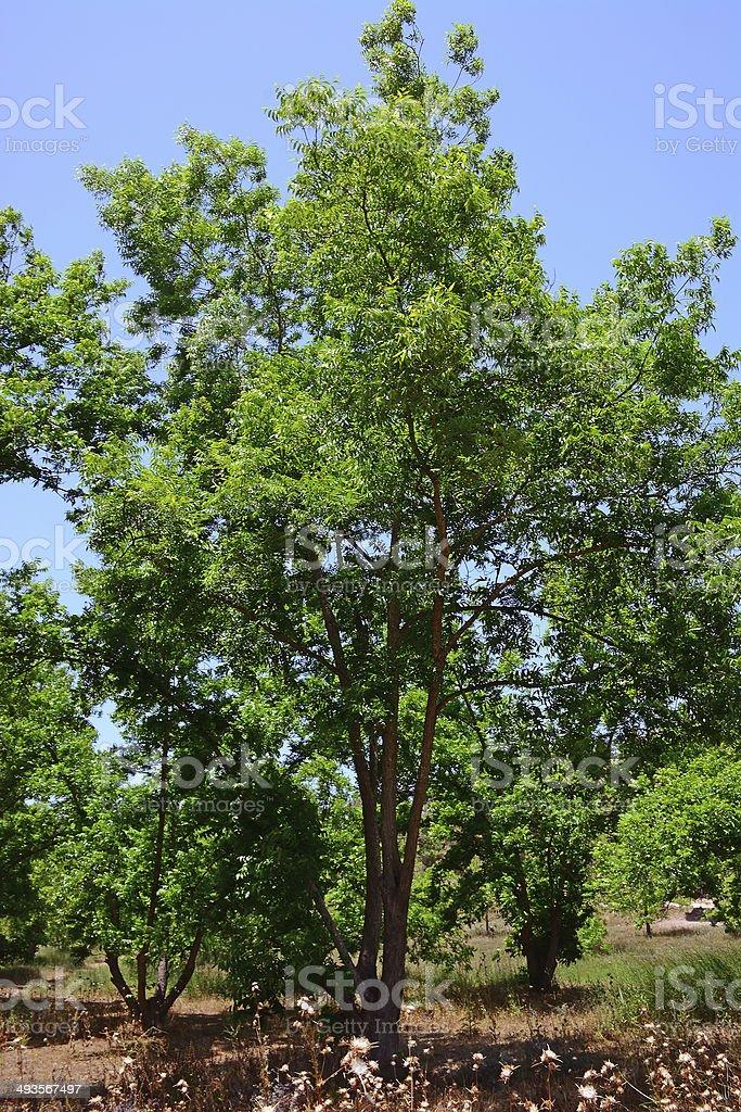 Pecan tree stock photo