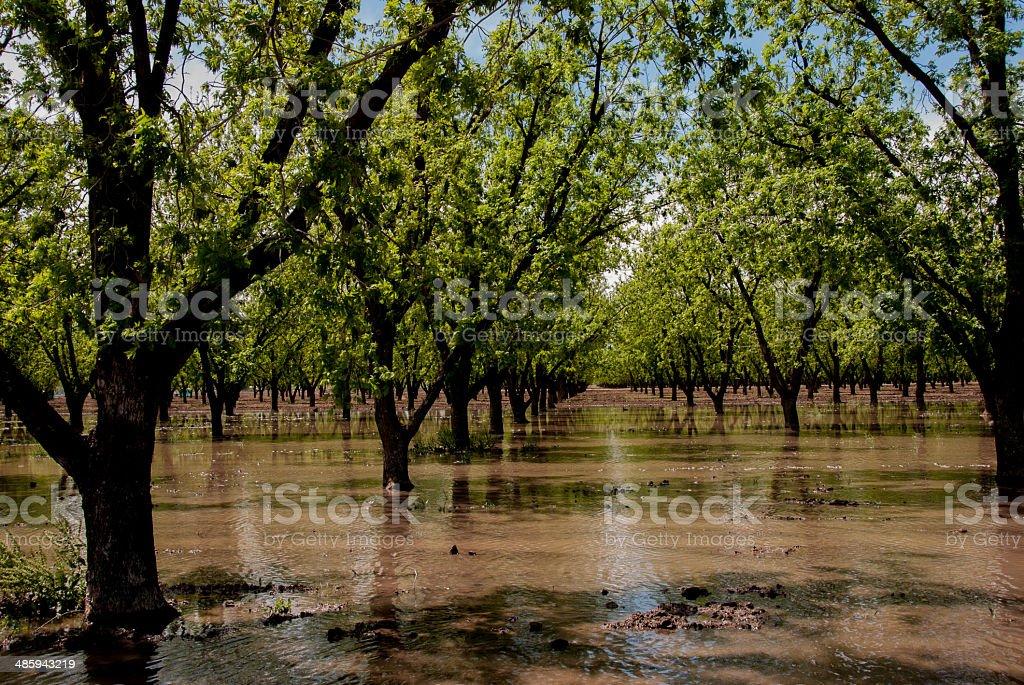 Pecan Trees in Spring stock photo