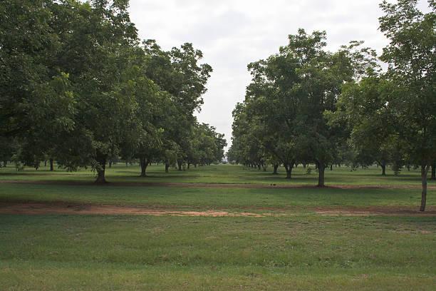 Pecan Trees stock photo
